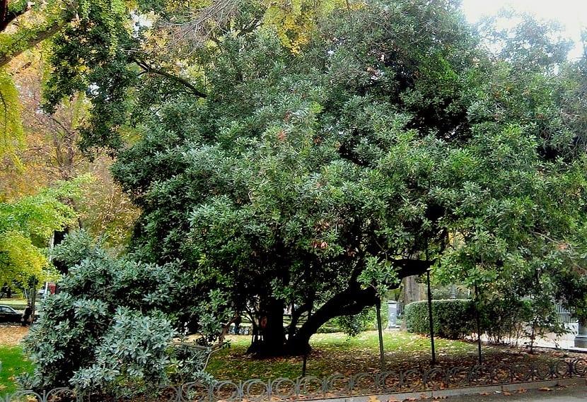 el madroño como árbol representante del mediterráneo