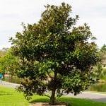 Precioso ejemplar de Magnolia grandiflora
