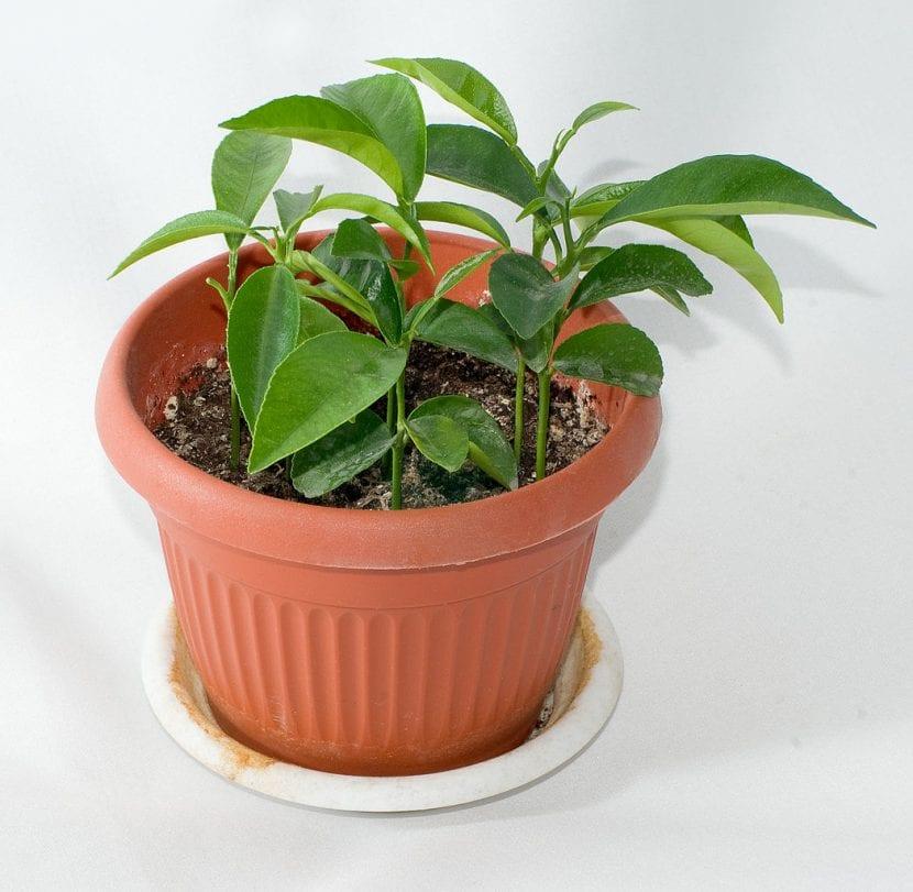 Plantones jóvenes de mandarinas