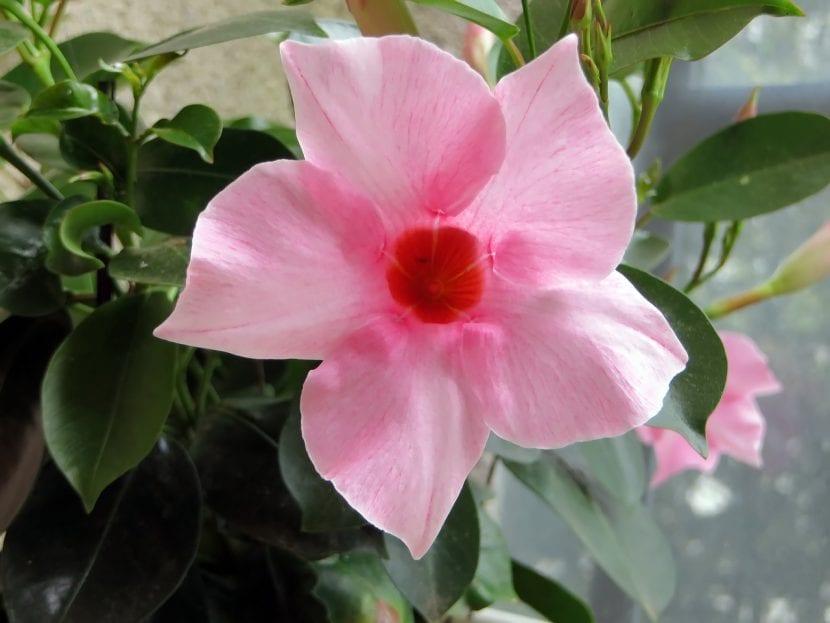 Flor de Mandevilla rosa