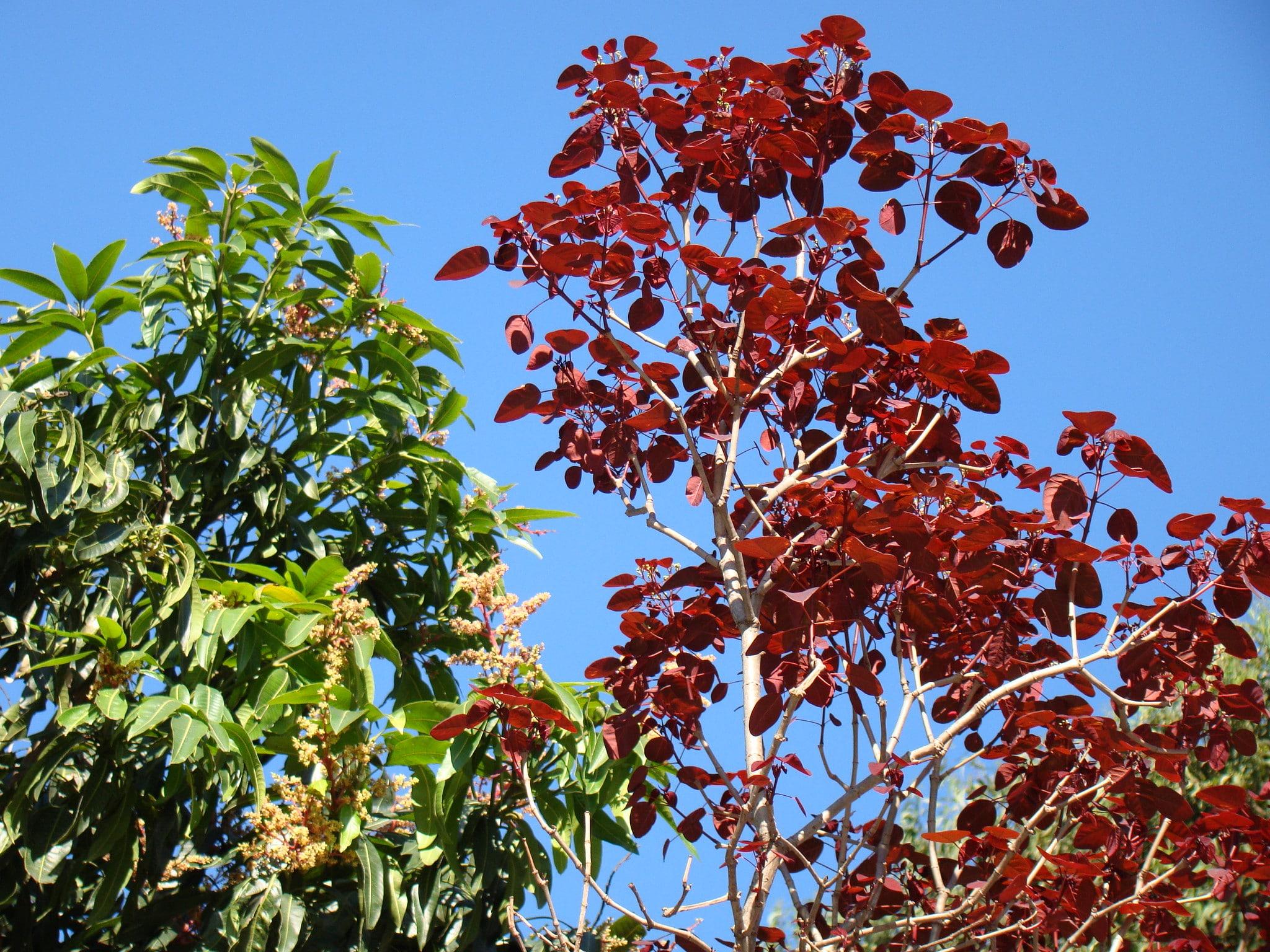 El lechero rojo es un árbol precioso