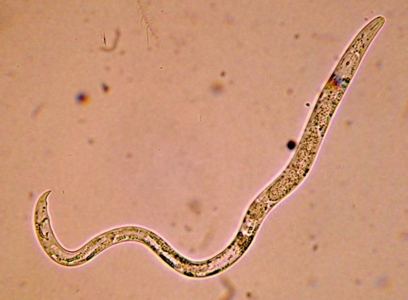 Nematodo visto por el microscopio