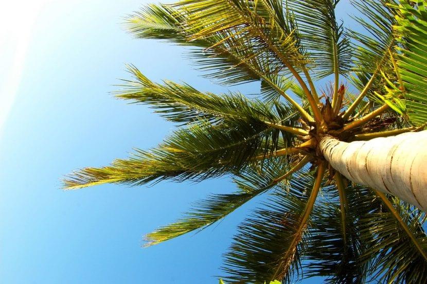 Palmera cocotera o Cocos nucifera