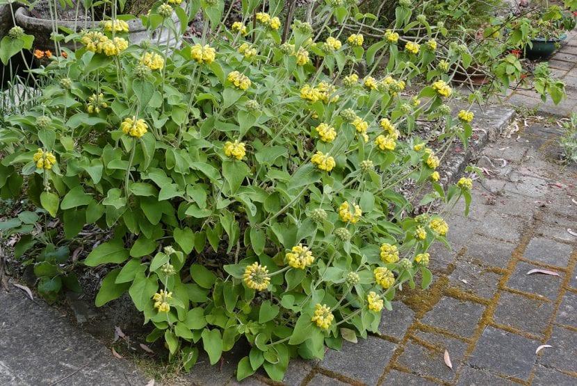 Ejemplar de Phlomis plantado en un jardín