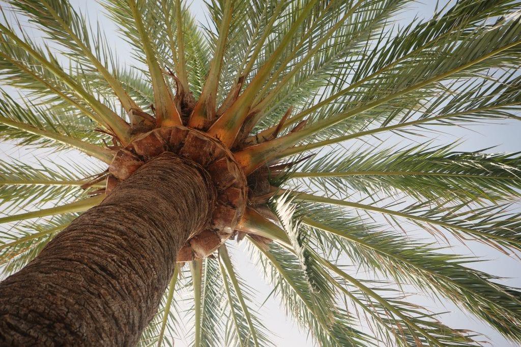 Palmera datilera o Phoenix dactylifera, una palmera con hoja pinnada