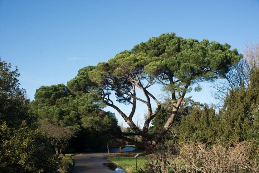 Ejemplar de Pinus pinea adulto