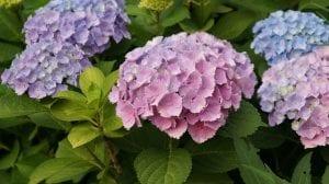 Plantas de hortensia en flor