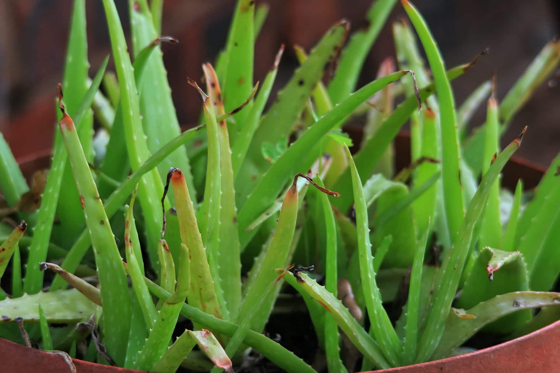 C mo reproducir la planta aloe vera - Como es la planta de aloe vera ...