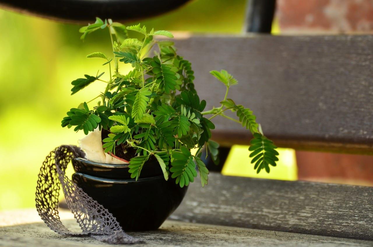 Plantas de Mimosa pudica