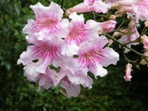 Flores de la Podranea ricasoliana