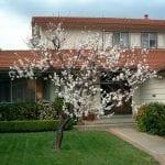 Árbol de Prunus armeniaca en un jardín