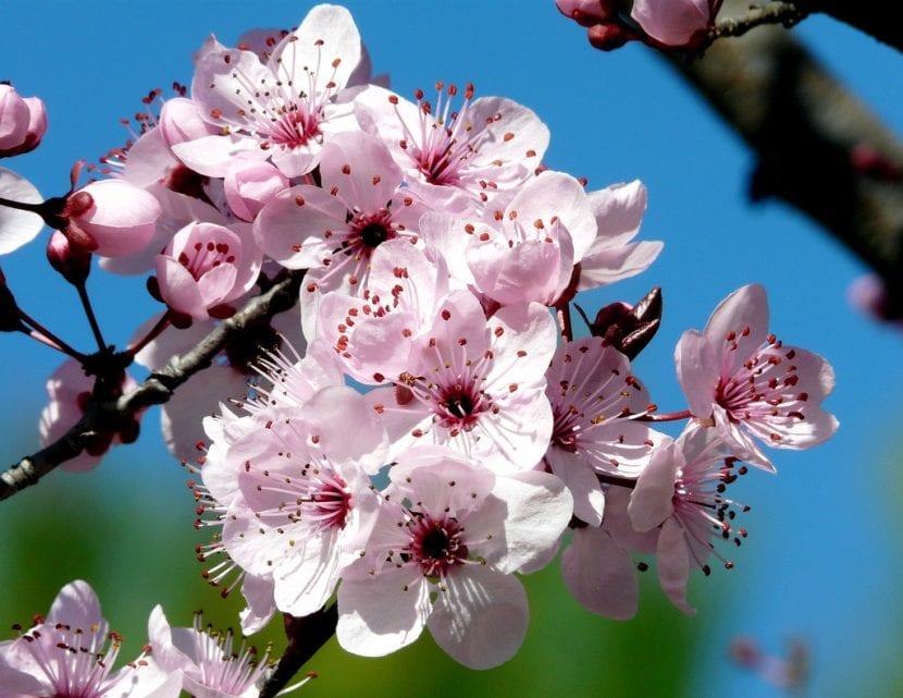 Flores de Prunus cerasifera 'Atropurpurea'