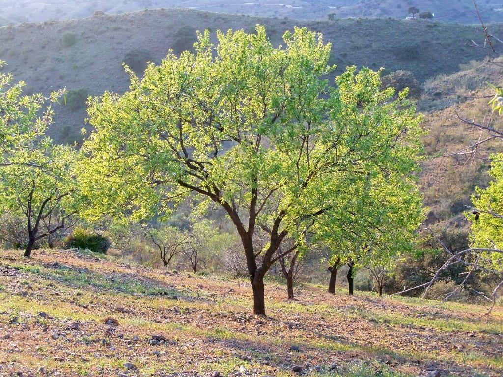 Ejemplar de Prunus dulcis o almendro