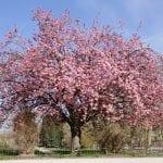Árbol de Prunus serrulata o cerezo japonés