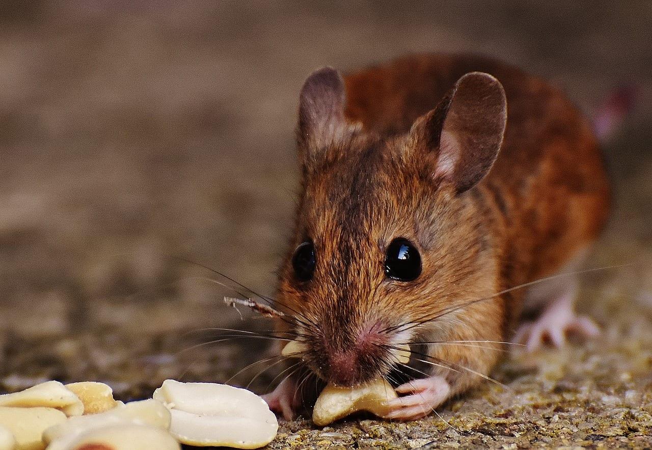 Ratón comiendo