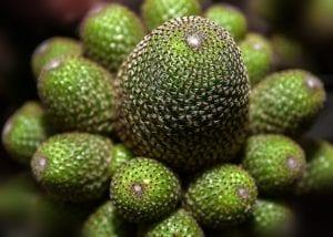Cactus del género Rebutia