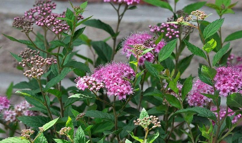 Spirea japonica en flor