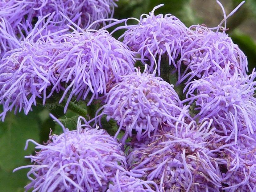 Flores de Ageratum houstonianum 'Blue Mink'