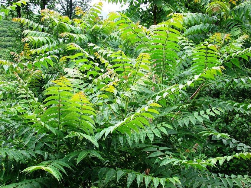 Ejemplares de Ailanthus altissima