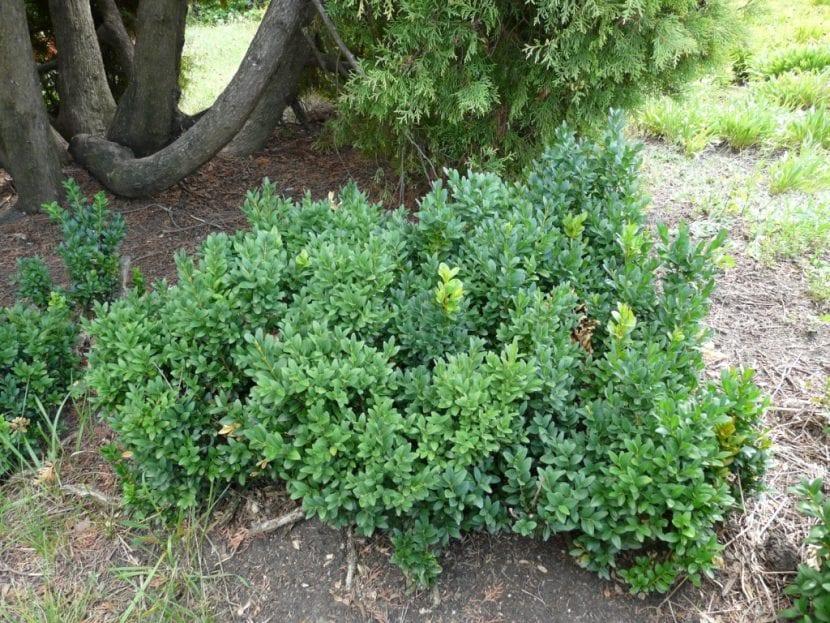 Buxus sempervirens, la planta de boj