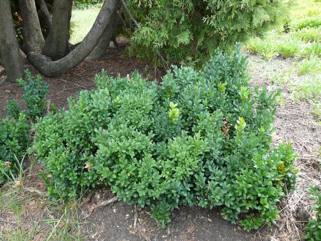 La planta de boj la m s querida para setos for Arbustos de jardin nombres