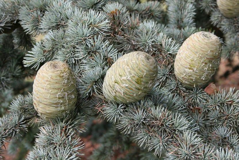 Frutos del Cedrus atlanticus