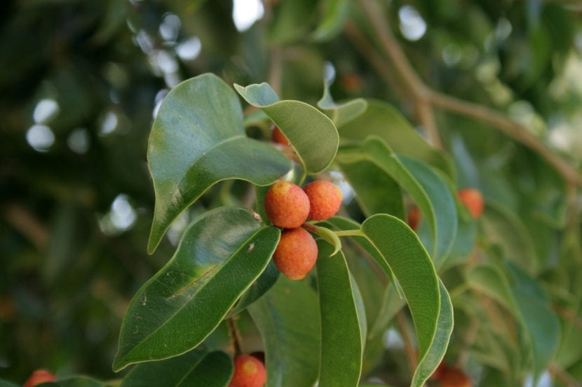 Frutos del Ficus benjamina