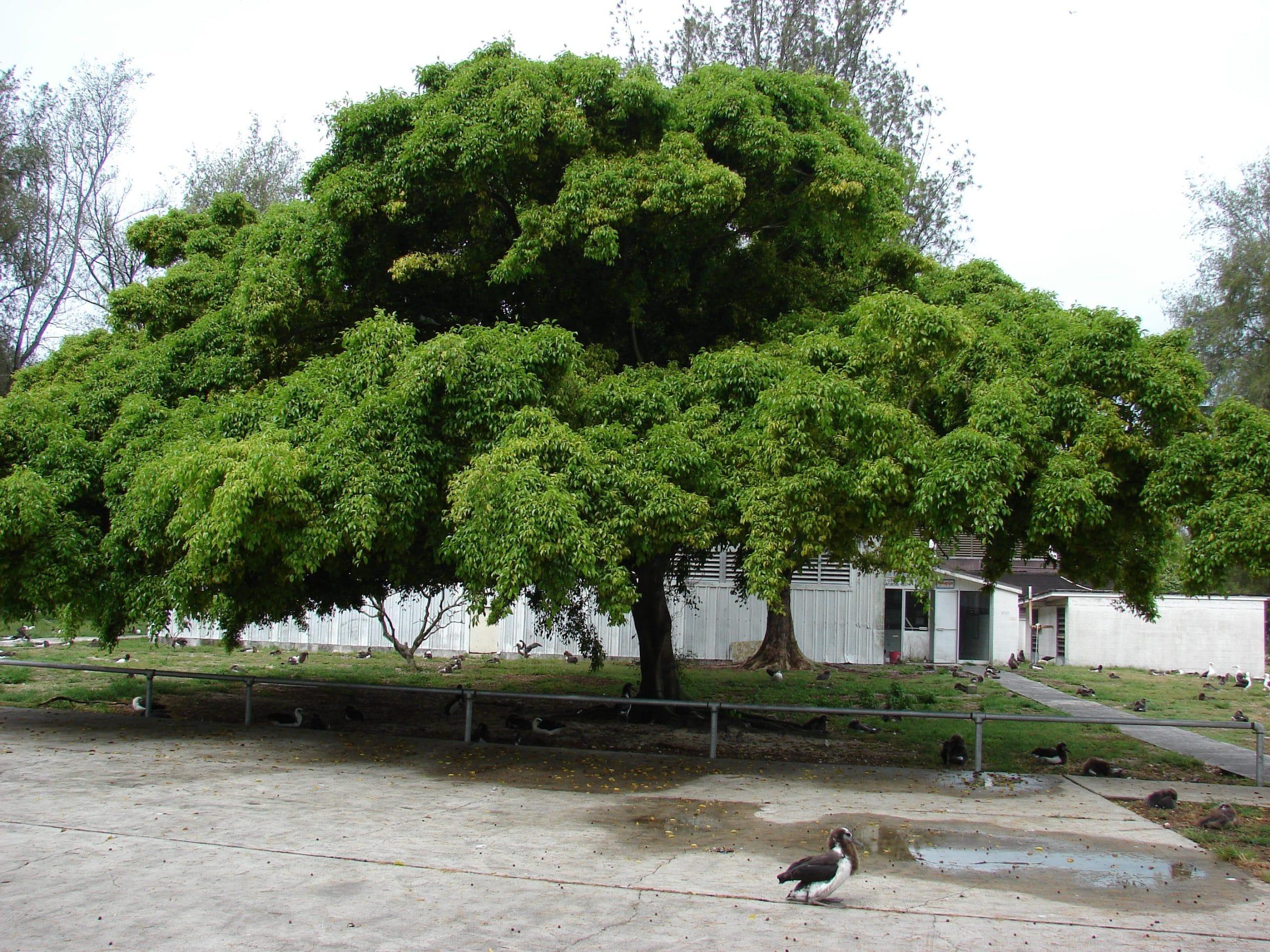 Ejemplar de Ficus benjamina
