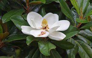 Magnolia, un árbol que florece varias veces