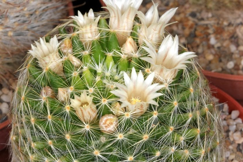 Ejemplar de Mammillaria schiedeana