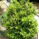 Ejemplar adulto de Prunus lusitanica