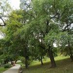 Ejemplares adultos de Prunus mahaleb