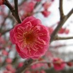 Preciosa flor de Prunus mume
