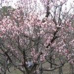 Prunus mume en flor