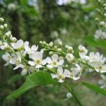 Magníficas flores de Prunus padus