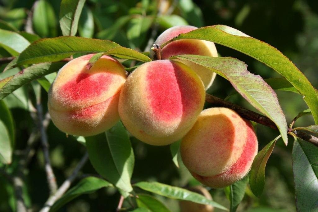 Vista de los frutos del Prunus persica