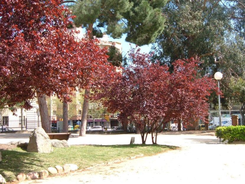 Ejemplares de Prunus cerasifera var. pisardii