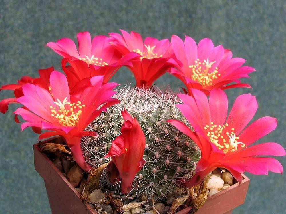 Ejemplar de Rebutia wessneriana en flor