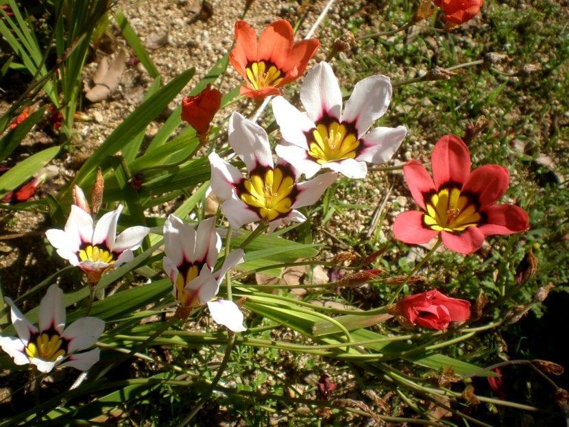 Grupo de Sparaxis tricolor