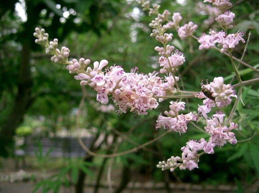 Vitex agnus-castus de flor rosa