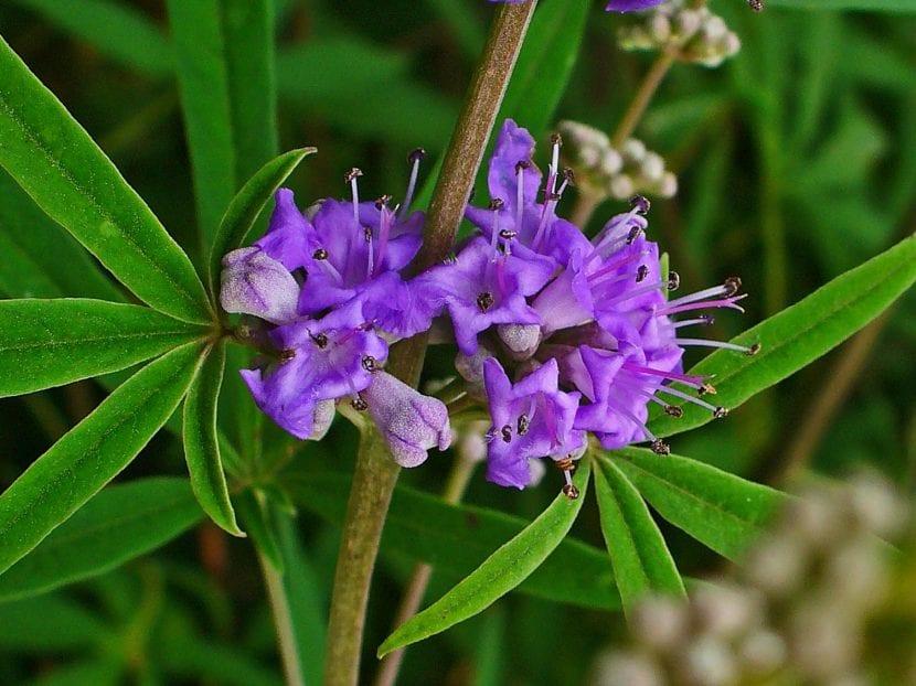 Vitex agnus-castus con flores lilas