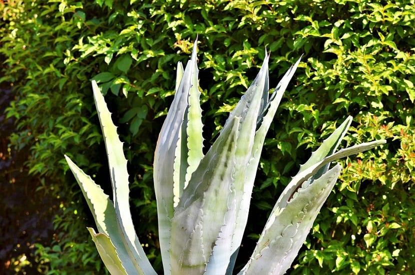 La agave, planta resistente sol