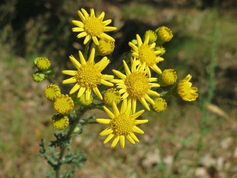 la chilca o ambrosia  son arbustos comunes