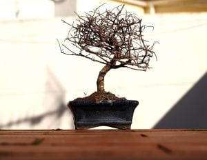 recuperar bonsai seco