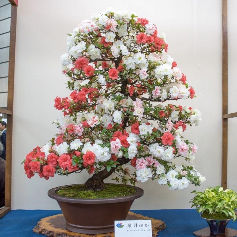 Asombroso bonsái de Azalea en flor