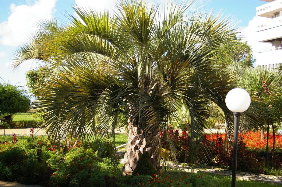 La Butia capitata es una palmera de tronco único