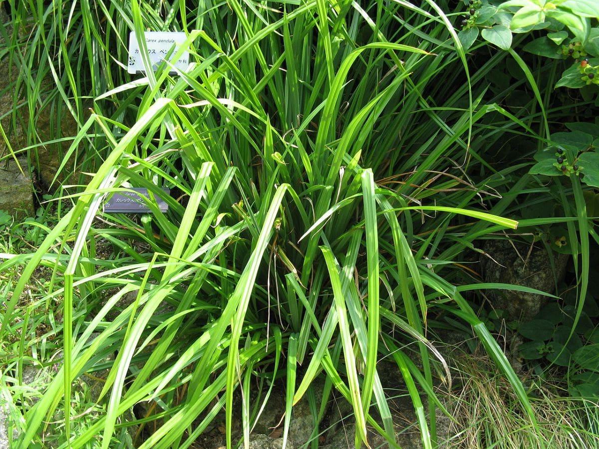El carex es una planta herbácea