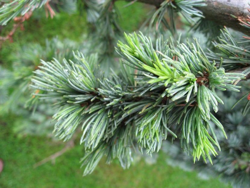 Vista en detalle de las hojas del cedro