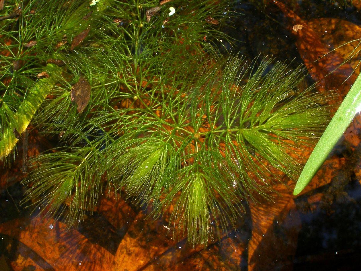El Ceratophyllum demersum es una planta
