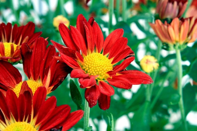 Crisantemo de flor roja